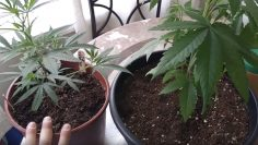 How to tell the difference between male and female pot plants